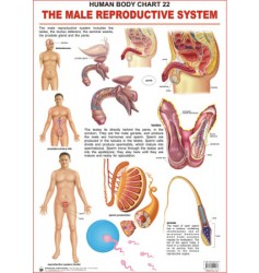 Human Body Charts: The Male Reproductive System